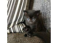 3 Beautiful All Black Kittens.