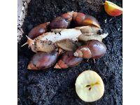 5 Giant African Land Snails for sale