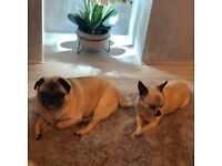 Pug and chihuahua looking for forever home -fully house trained