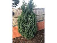 Large Thuja evergreen Conifer tree 2 metres tall