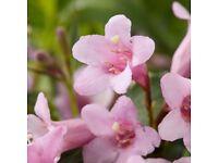 Weigela shrub pink flowered plant
