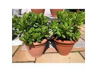 Money Plants Extra Large 30cm pots