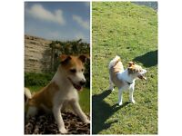 Dog, giveaway, free, Jack Russell,child friendly