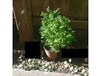 Small Buxus / Box Plant - Outdoor Plant (Reference: P43)