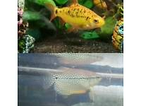 Tropical fish Golden barbs, lace/pearl gouramis, plec (pleco), otocinclus