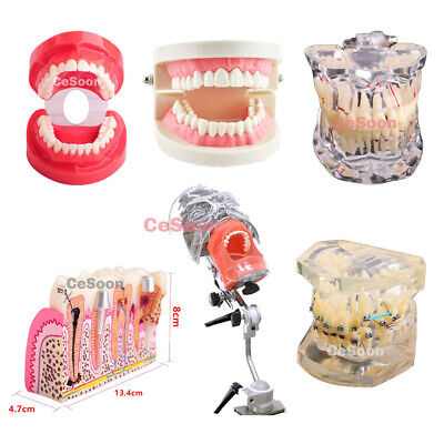 Dental Teeth Study Model Implant Typodont Standard Adult Analysis Demonstration