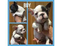**French Bulldog Puppies Ready To Leave**