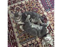 Rag Doll Cross Kittens for Sale