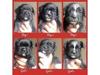 Boston Terrier X Mini Snauzer Puppies (Mini Bowz) Male & Female available, black/white & brindle