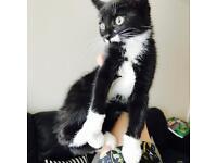Black and White Female kitten needing loving forever home.