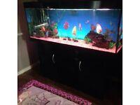 11 quality discus fish.