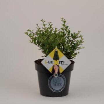 ilex crenata Dark Green met 2 of 3 planten per pot