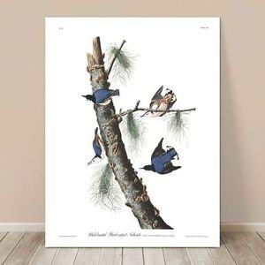 "FAMOUS BIRD ART ~ CANVAS PRINT 8x10"" ~ JOHN AUDUBON ~ Blue Nuthatch Birds"