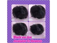 Black vm mini lop doe