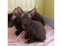 PETERBALD HAVANA CHOCOLATE BROWN KITTEN