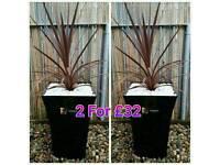 High Gloss Cordyline/Palm Plant Planter