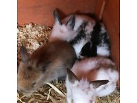 Baby rabbits for sale .. Available soon