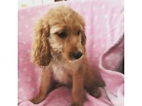 Cockapoo puppies Available Still