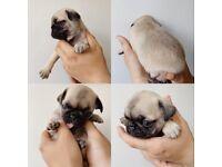 Puppie pug