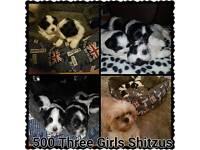 Shitzu puppies Full Pedigrees Three Girls Left