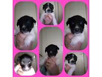 Lhasajack puppys for sale!😍three black and white girls left,ready to leave 18.3.17