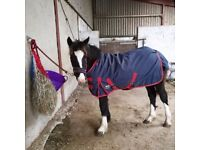 Welsh Part Bred Yearling Filly