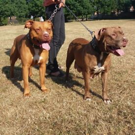 Bully type pups for sale. Males and females still available.