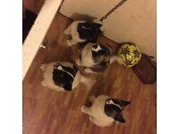 Akita's Puppys
