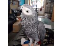 My afican grey parrot got lose and fly away she is a