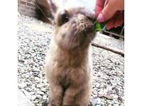 Lionhead x for sale Toffee