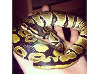 2 Year Old Female Royal Python