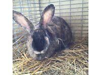 Harlequin Continental Doe Rabbit for sale