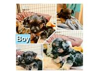 ** Reserved ** adorable chorkie x puppies