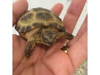 SUPER TAME BABY HORSEFIELD TORTOISE WITH FULL SET UP NEW VIVARIUM UVB AND HEAT LAMP