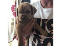 Dogue de Bordeaux puppies