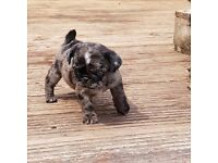 Litter of beautiful pug puppies for sale