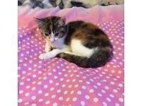 Beautiful Rare Mixed Coloured Bengal Cross Kitten For Rehoming