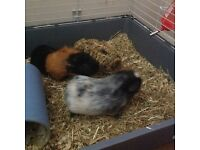 2 male Guinea pigs including cage