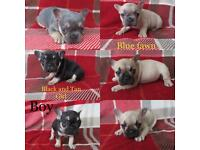 French bull dog pup blue tan black fawn