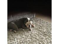 Olde Tyme English bulldog. Blue. £500