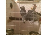 Pairs of African greys
