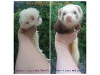 Ferret kits ready between 24/08-02/09