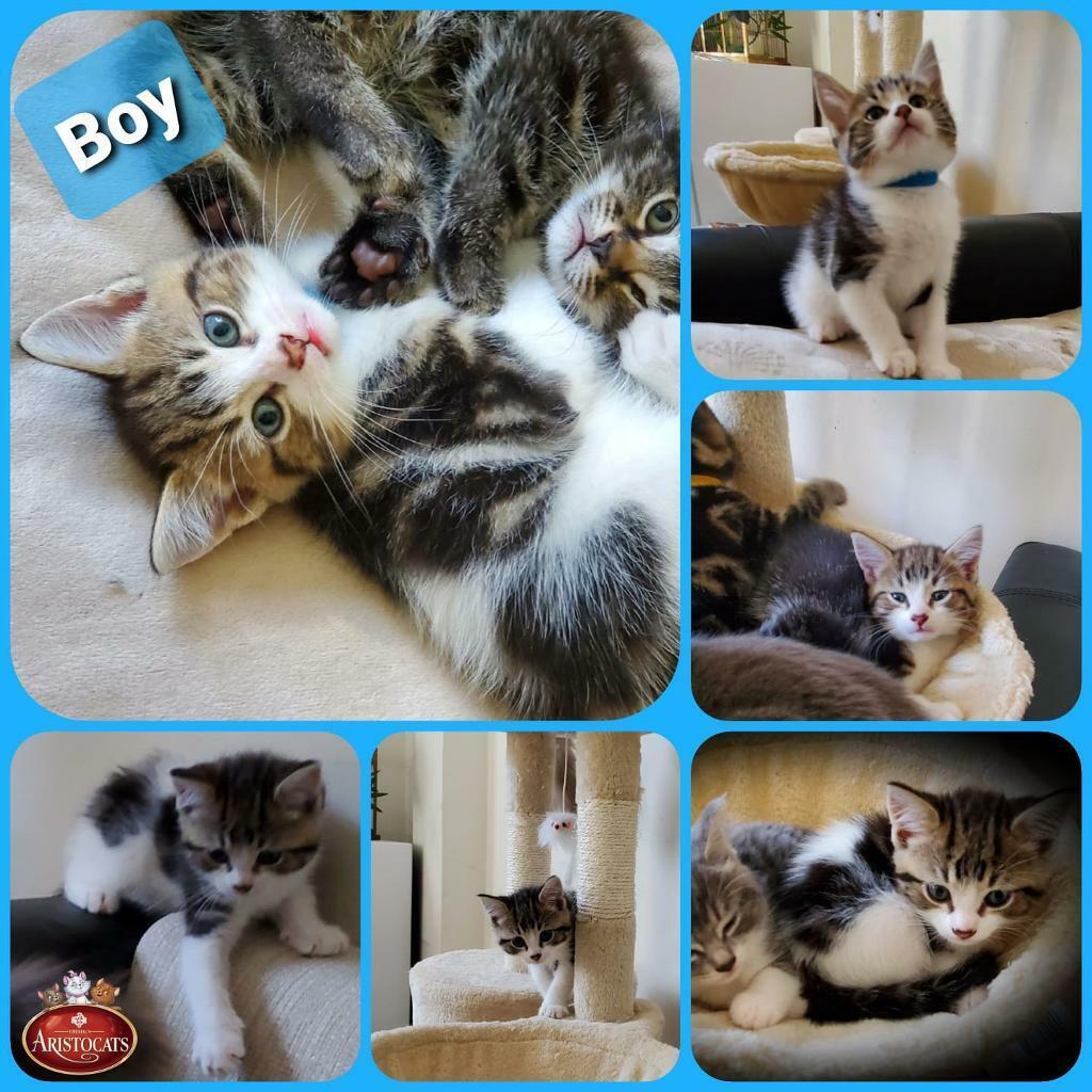 Half Ragdoll Kitten For Sale In West London London Gumtree