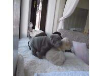 Shar Pei Puppies ready for new home