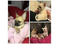 Chihuahua pups - female and male