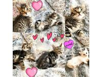 Beautiful adorable kittens 8 weeks old