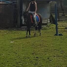 12hh mothers dream leadrein pony