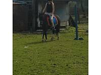 12hh mothers dream leadrein pony