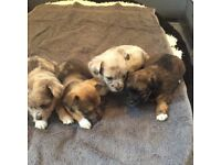 Jack Russell cross Blue Merle Chihuahua pups