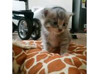 Beautiful 2 male domestic short hair kittens